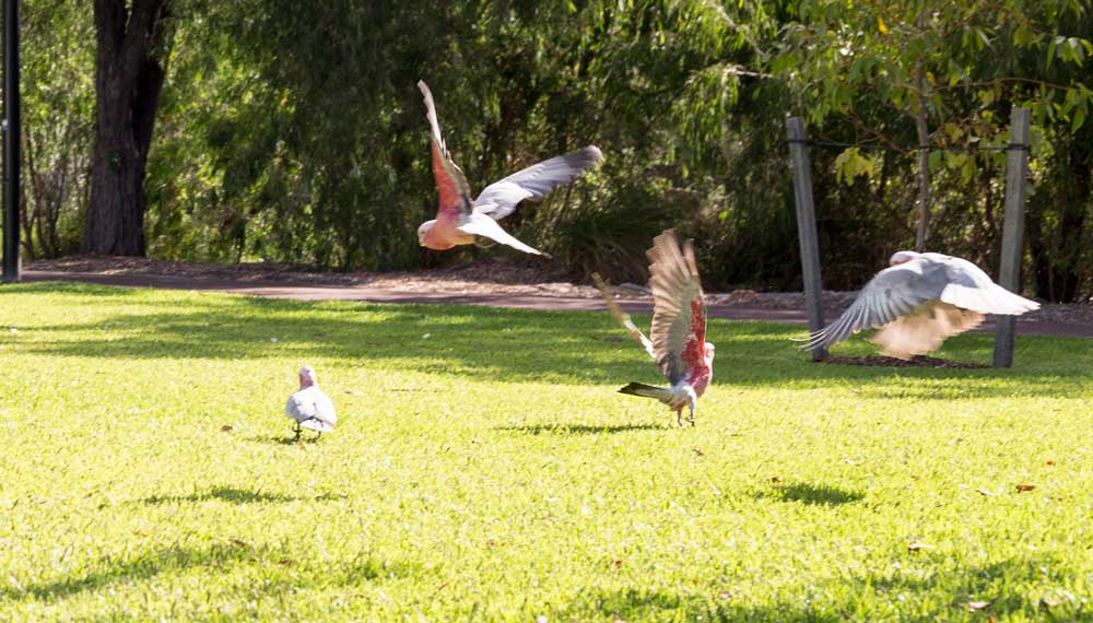 'Pink and grey' Galahs in Dunsborough